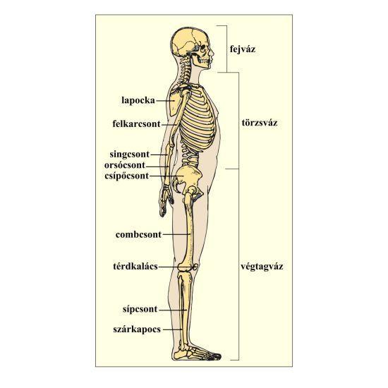 csontváz fogyás
