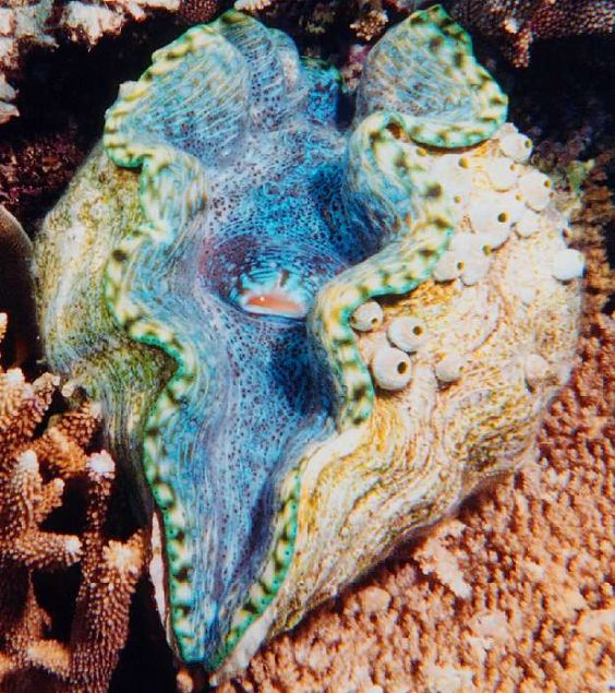 Giant clam from the Great Barrier Reef. We were fascinated by the colors of these huge animals on our visit to Australia.