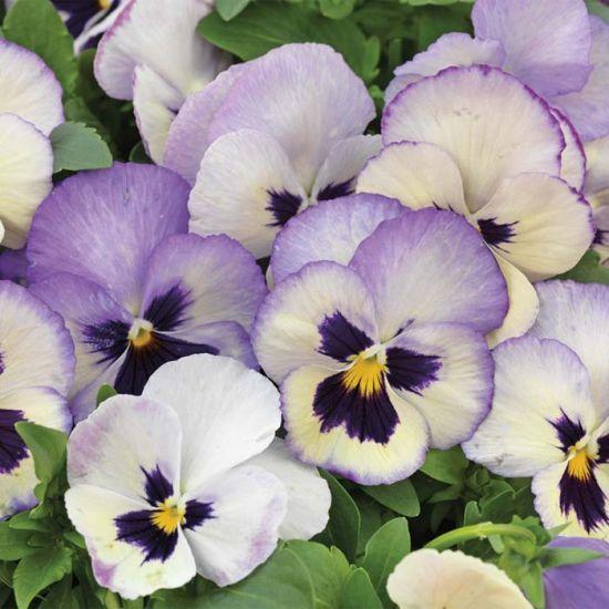 Wonderfall Lavender Picotee Shades Pansy Flores Exoticas Flores Exotico