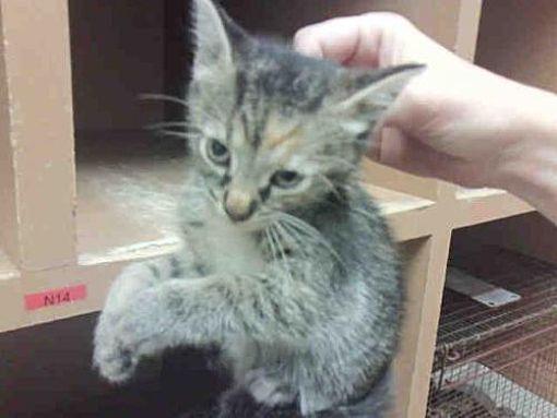 Austin Tx Domestic Mediumhair Meet Tulip A Cat For Adoption Pets Kitten Adoption Cat Adoption