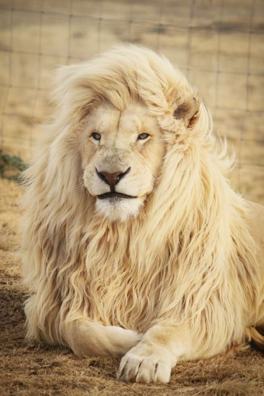 14 Tumblr Lions Photos Animals Lion Pictures