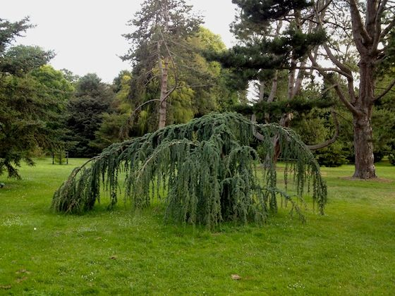 A sad tree. Christchurch park, New Zealand.