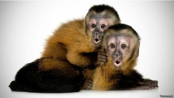 Monos capuchinos