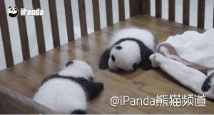 【抱大腿】是指借助其他人的优势来获得收益... 来自iPanda熊猫频道 - 微博