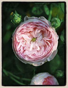 Rare pale pink gallica rose | 'Duchesse de Montebello'