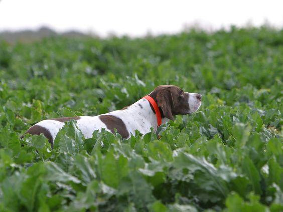 Google-Ergebnis für http://www.chiens-online.com/_upload/ressources/global/fiches_de_races/toutes_photos_CGA_resized/braque_francais_gascogne_chasse.jpg