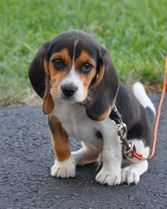 Beagle puppies, Blog and Puppys on Pinterest