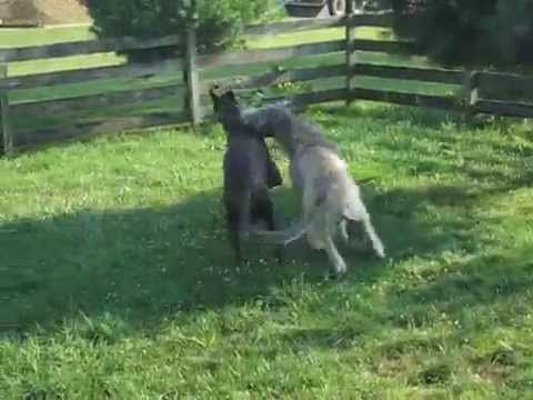 Great Dane Vs Irish Wolfhound Youtube What S The Difference