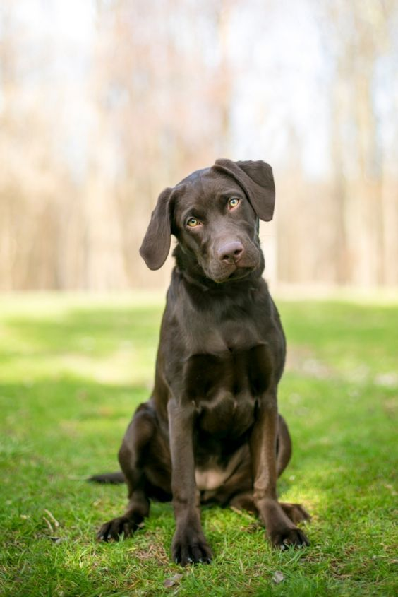 Chocolate Labrador X1f496 Chocolate Labrador In 2020