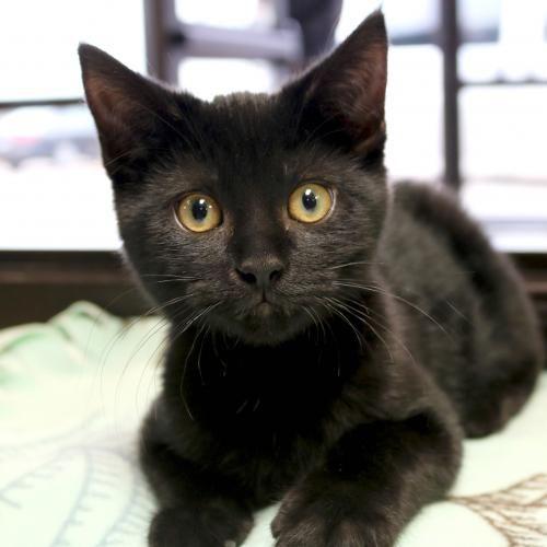 Hi I M Jujube I M A 3 Month Old Neutered Male Black Domestic Short Hair Kittens Cutest Cute Animals Animals