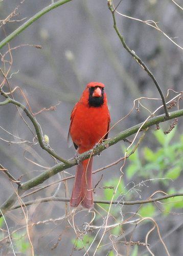 Cardinal on Cold Morning, Fernwood Gardens, Michigan