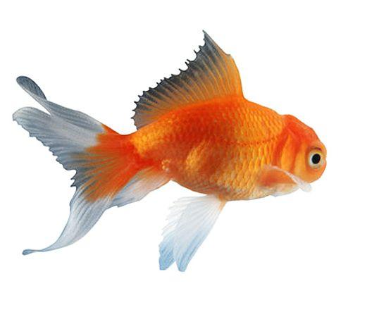 real goldfish