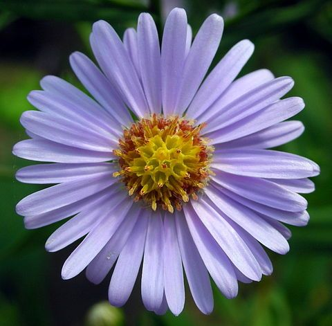 Shion Aster Tataricus In Japanese Flower Language It Means I Won T Forget You Aster Flower Plants Flower Seeds