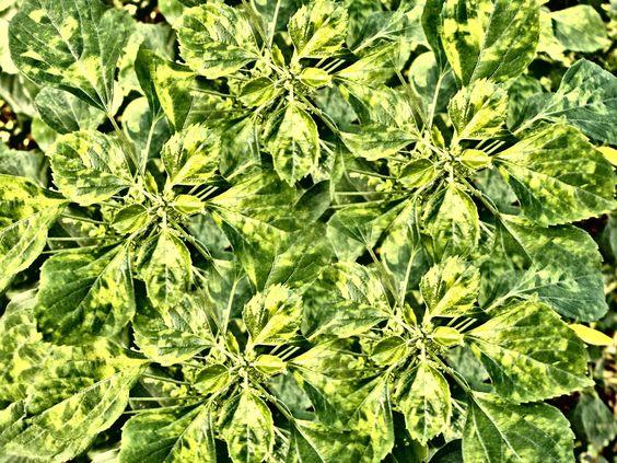 Acalypha indica by Suresh Kesavan on 500px
