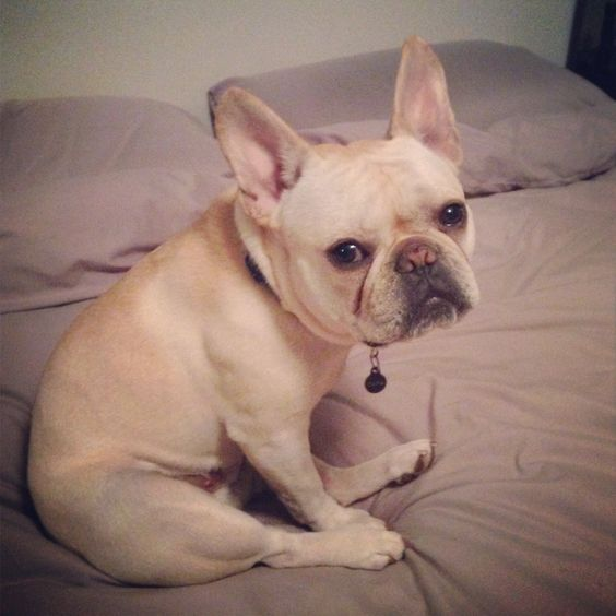 French Bulldog Capa giving me the sad look while getting ready for work.