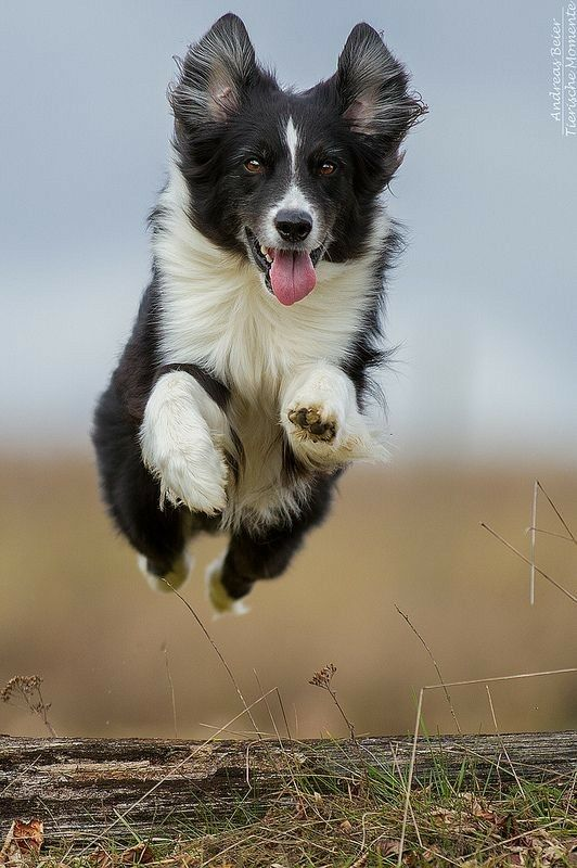A Senior Border Collie Not Acting His Age Collie Dog Dog