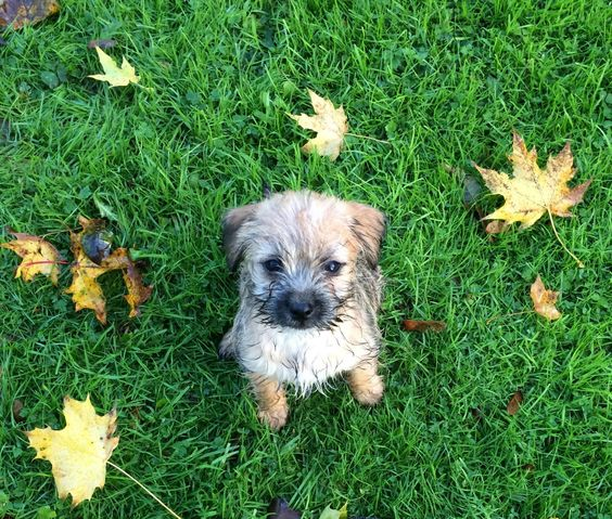 Border terrier x jack russell puppies for sale
