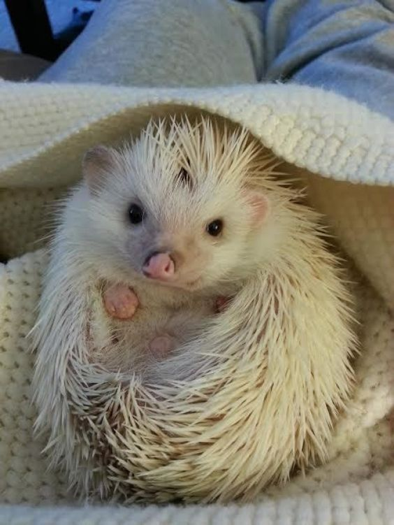 Abraçada Hedgehog | Cutest Paw: