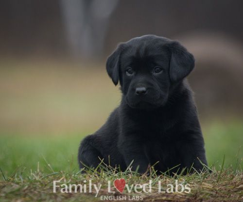 English Black Lab Puppies For Sale Black Lab Puppies Available Family Loved Labs English Lab Puppies Lab Puppies Black Lab Puppies