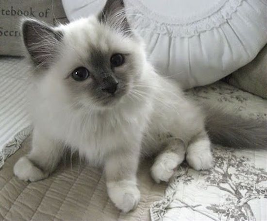 17 Best images about Point Birman Baby kitty, Grey and
