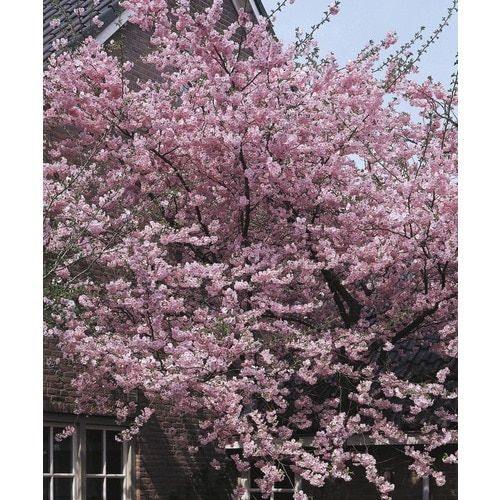 6 08 Gallon Pink Kwanzan Flowering Cherry Flowering Tree In Pot L1023 Lowes Com Potted Trees Flowering Trees Maple Tree Seeds