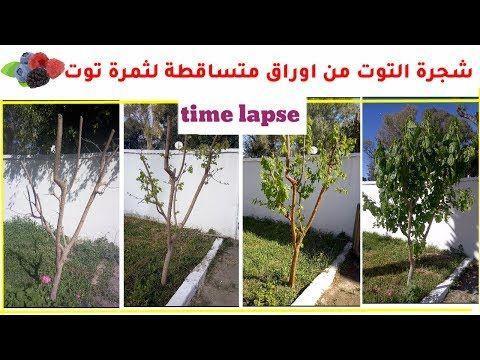 زراعة شجرة التوت مراحل نمو شجره توت حتى الاثمار فيديو مسرع Time Laps Youtube Time