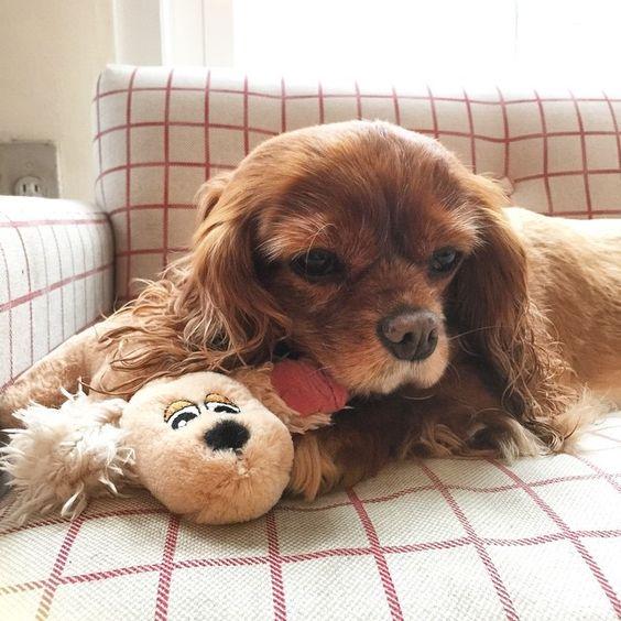 Toast the Cavalier King Charles Spaniel Dog