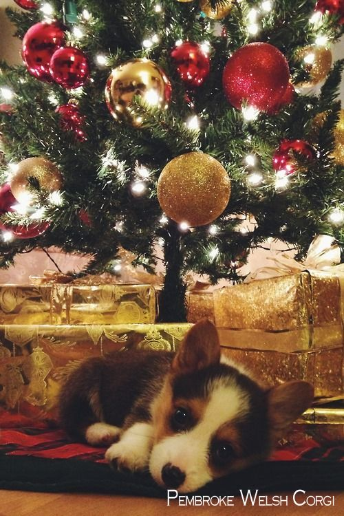 Pembroke Welsh Corgi Alert And Affectionate Christmas Puppy