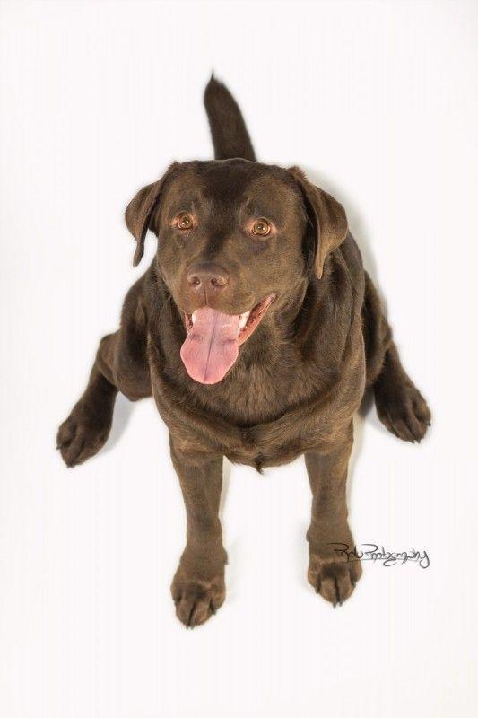 Labrador Leo Ich sehe genau das du ein Leckerchen in der Hand hast! Hundename: Leo / Rasse: Labrador      Mehr Fotos: https://magazin.dogs-2-love.com/foto/labrador-leo-2/ Foto, Hund, Hundefutter