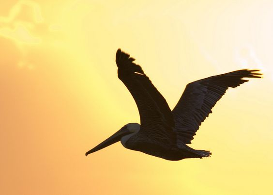 Pelican silhouette | Flickr - Photo Sharing!