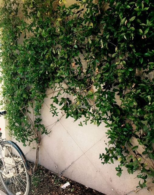 Green Walls: Trellised Vines + Espalier Trees