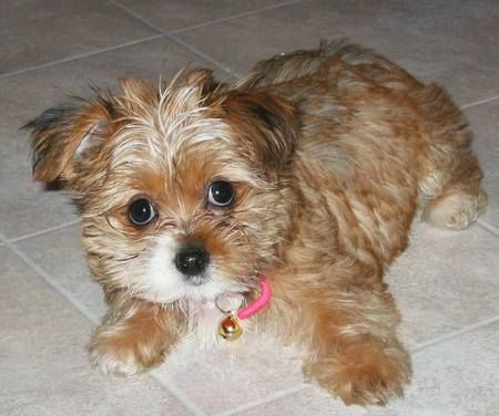 Kinds of dogs, Cas and Yorkie on Pinterest