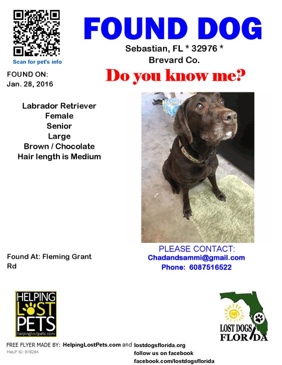 Sebastian (FL) United States  city photo : Found Dog Labrador Retriever Sebastian, FL, United States | Found ...