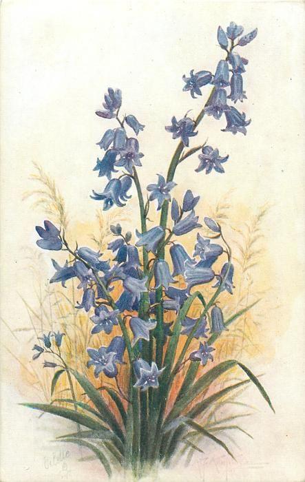 Bluebells. A. F. Armitage postcard. 1926/1927