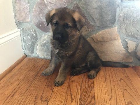 Litter Of 7 German Shepherd Dog Puppies For Sale In Mooresville