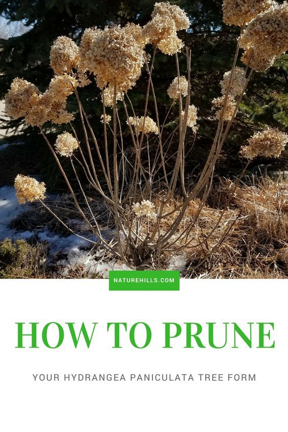 How To Prune Hydrangea Paniculata Tree Form With Images