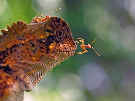 Formigas da espécie rang rang andam na cabeça de um lagarto na Indonésia  Foto: Barcroft Media/Getty Images