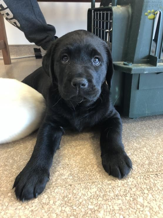 Sebastian Labrador Retriever Puppy For Sale In Philadelphia Pa