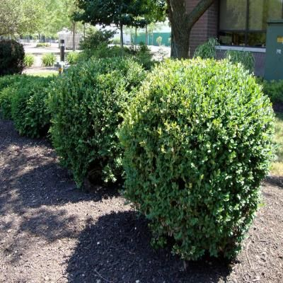 Onlineplantcenter 2 gal green mountain boxwood shrub for Green bushes for landscaping