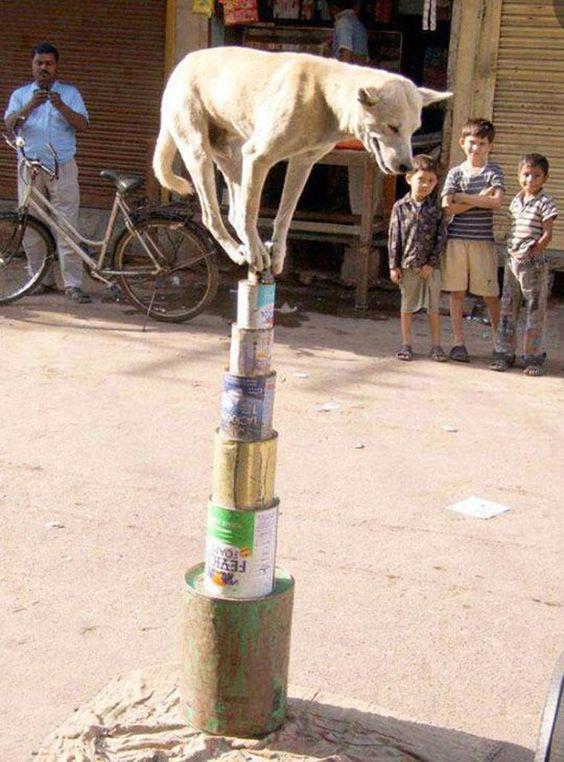 acrobat dog