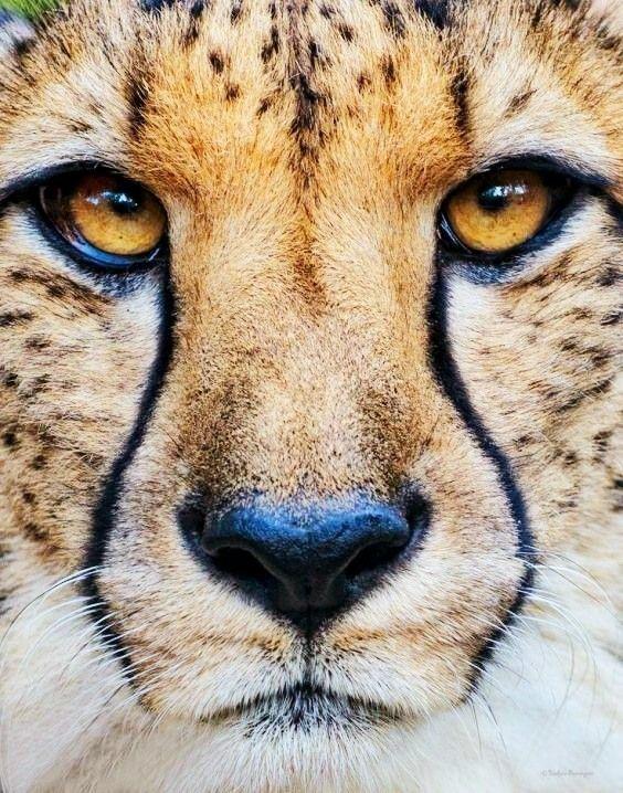 Pin On Big Small Wild Cats Felines