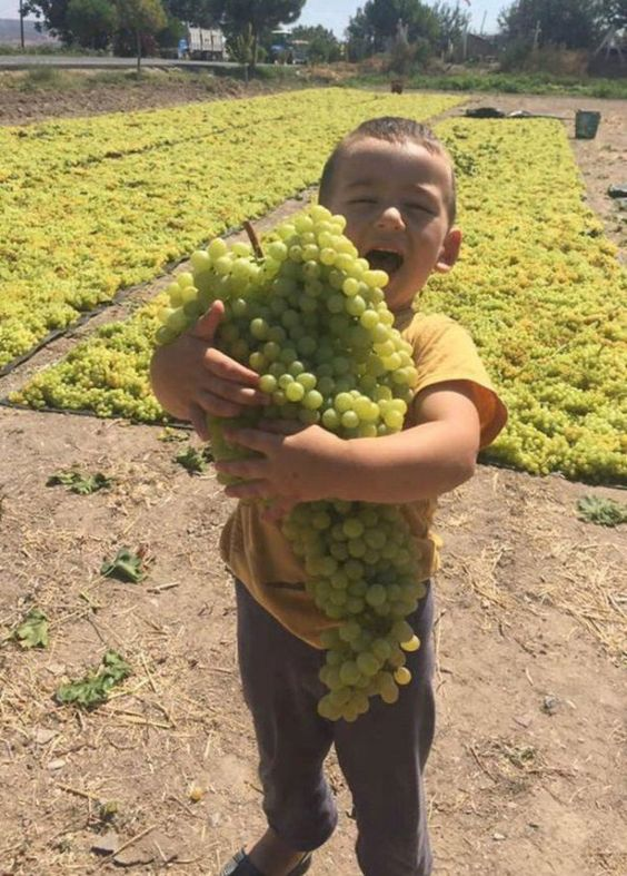 It is grape harvest season again in Afghanistan