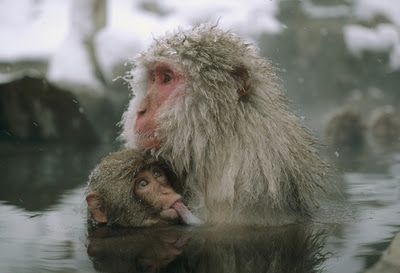 Japanese Macaque mother nursing young, Japan.   By MICHIO HOSHINO