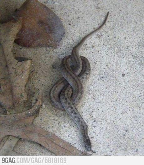 Go home snake, you are drunk. Somehow I don't feel bad that he got himself tied in a knot
