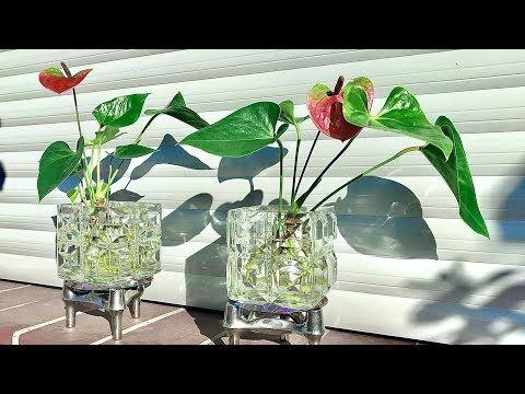 How To Grow An Anthurium Anthurium Plants Care Youtube In 2020 Anthurium Plant Anthurium Anthurium Flower