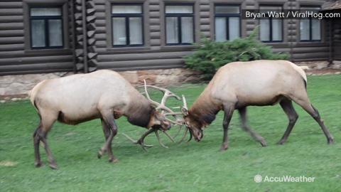 Nov 27, 2015; 8:10 AM ET A man staying in the Grand Canyon Village in Arizona captured two Bull Elk locking horns and bleating to one another Sept. 17.
