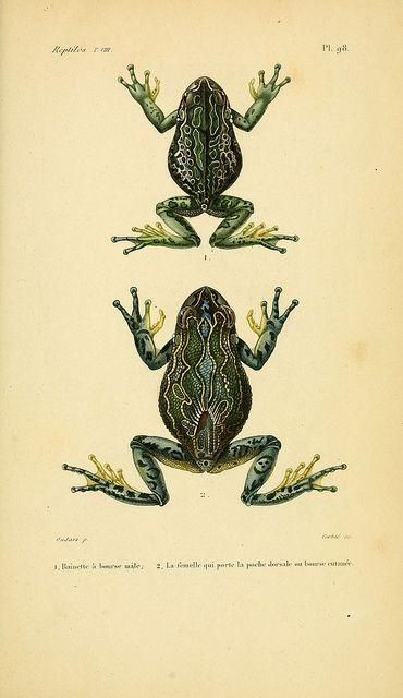 Erpétologie générale, ou, Histoire naturelle complète des reptiles Paris :Roret,1834-1854.