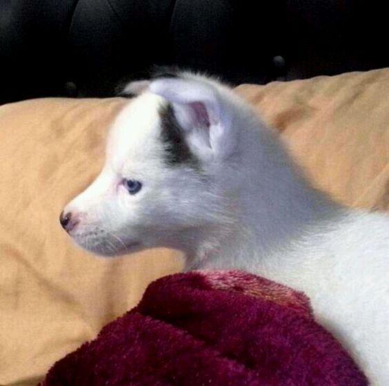 Perla / Husky