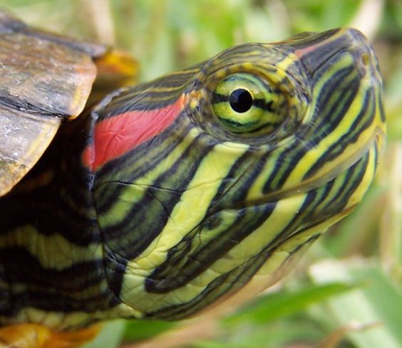 ~~ Red-Eared Slider Turtle ~~