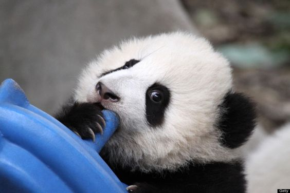 A baby panda plays in a enclosure at the Giant Panda Research Base in Chengdu, southwest China's Sichuan